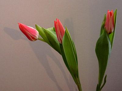 bulbs tulipa