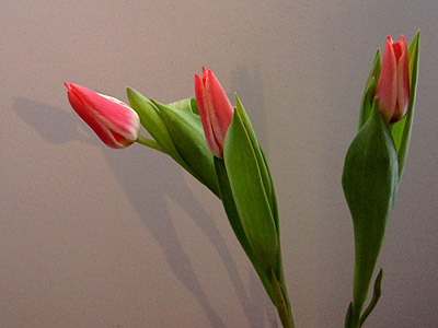 bulbs tulipa
