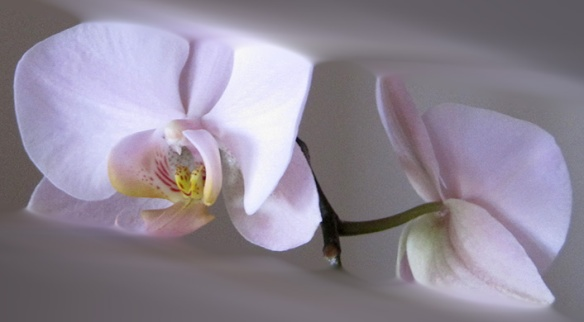 dues-orquidees