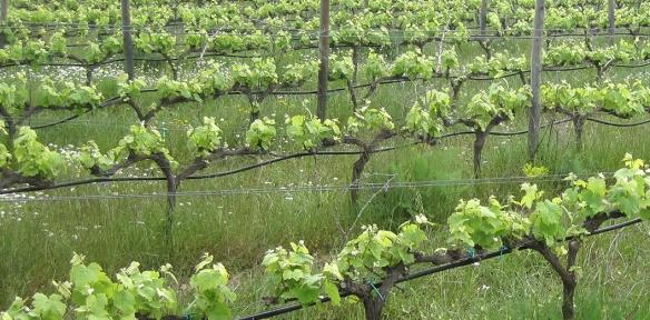 vinyes-verdes